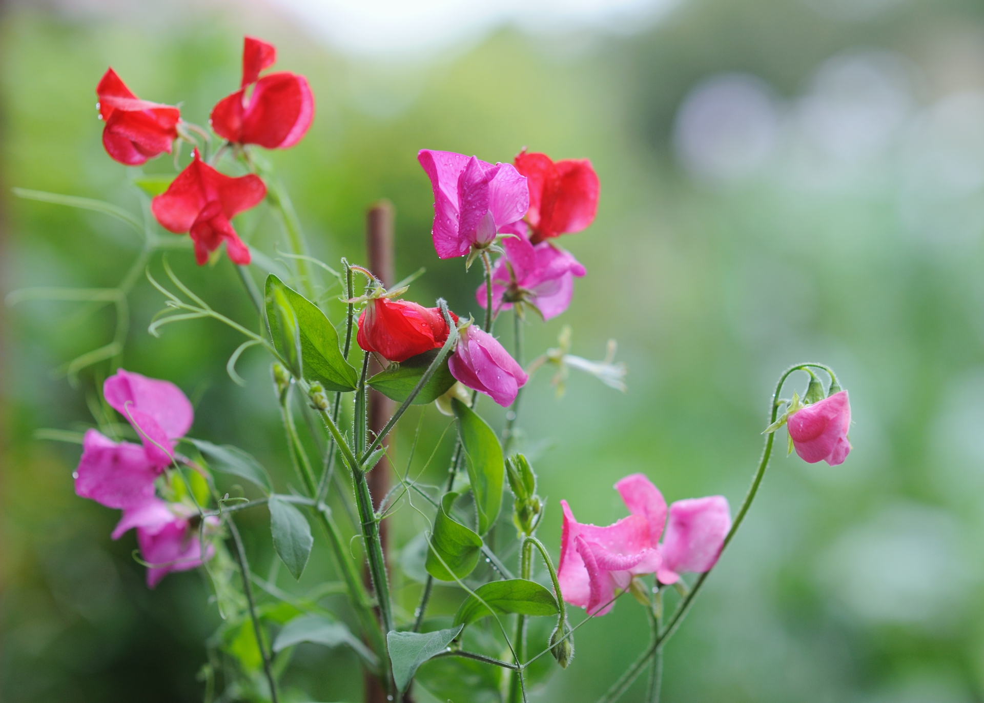 Sweet peas how to plant grow and care for sweet pea flowers the sweet peas how to plant grow and care for sweet pea flowers the old farmers almanac mightylinksfo