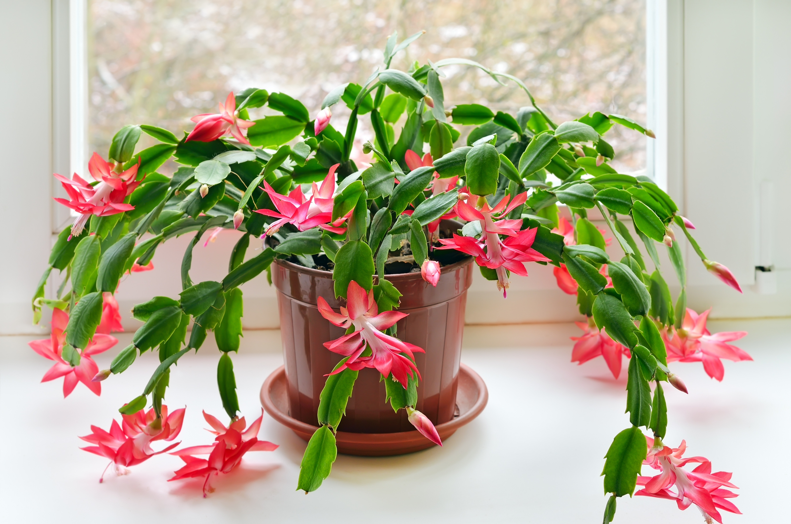 Christmas Cactus How To Care For A Christmas Cactus Houseplant The Old Farmer S Almanac