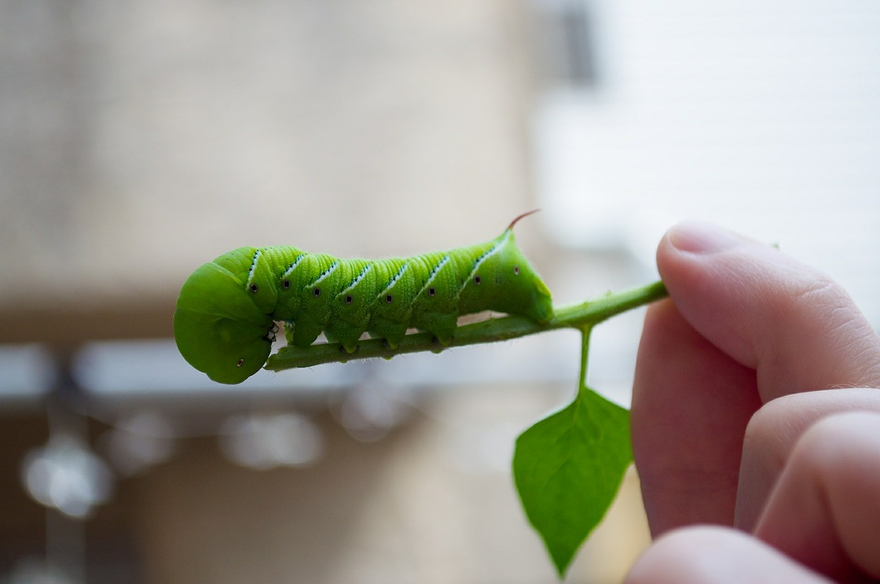 Tomato Hornworms: How to Identify and Get Rid of Tomato Hornworms ...