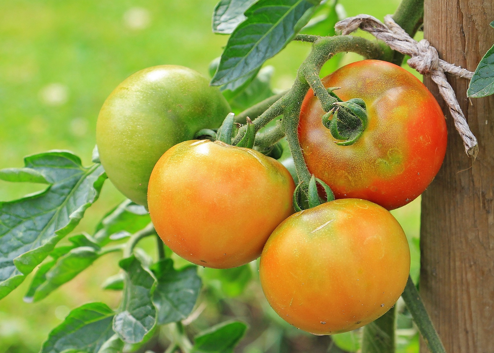 Tomatoes Planting Growing And Harvesting Tomatoes The