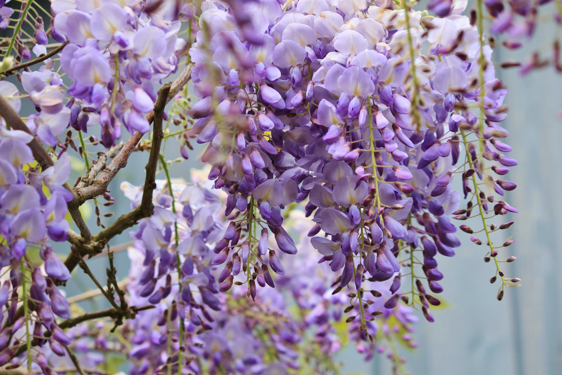 Wisteria How To Plant Grow And Care For Wisteria Plants
