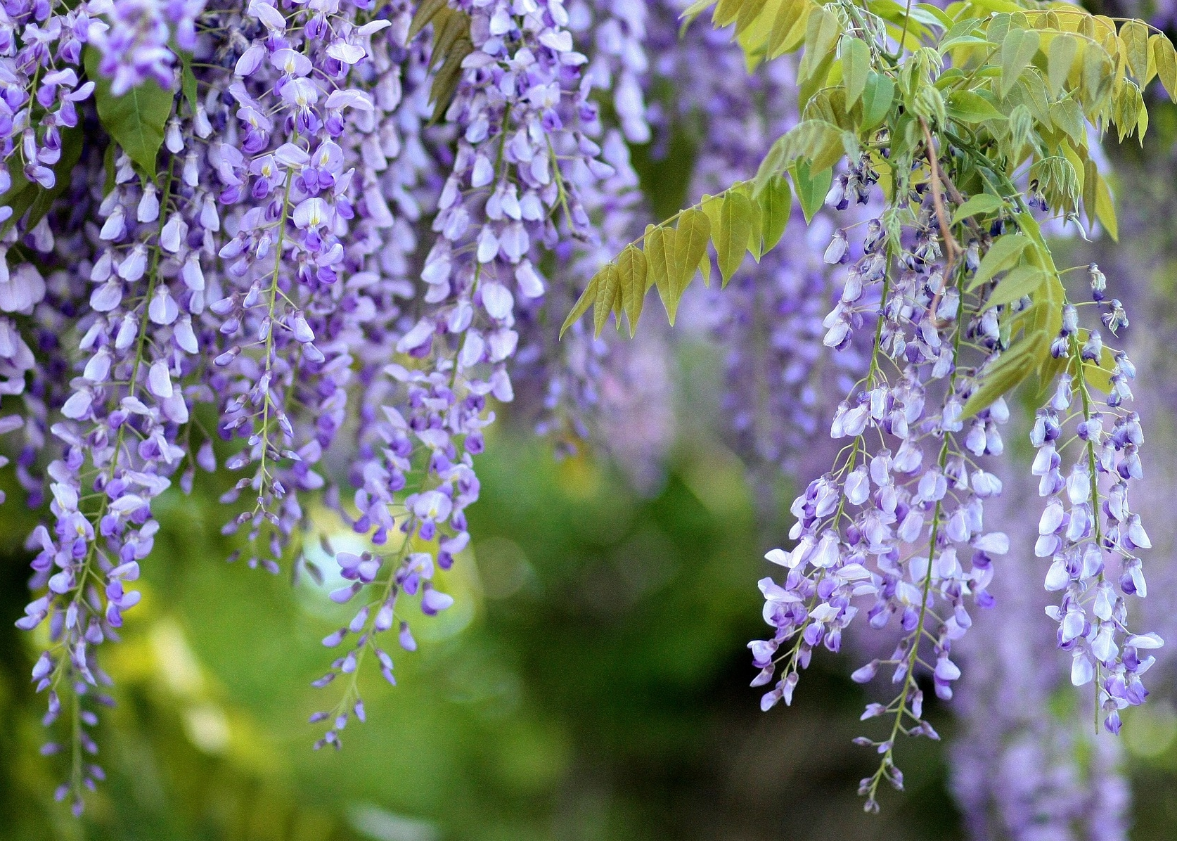 Wisteria How To Plant Grow And Care For Wisteria Vines The