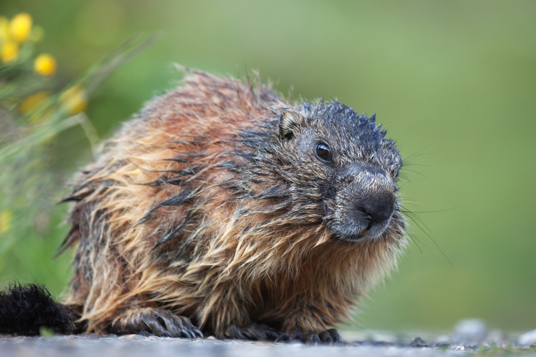 how to get rid of groundhogs woodchuck pest control the old