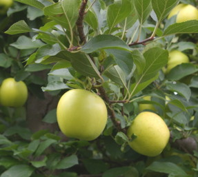 Growing Apples Pears And Asian Pears Backyard Gardening