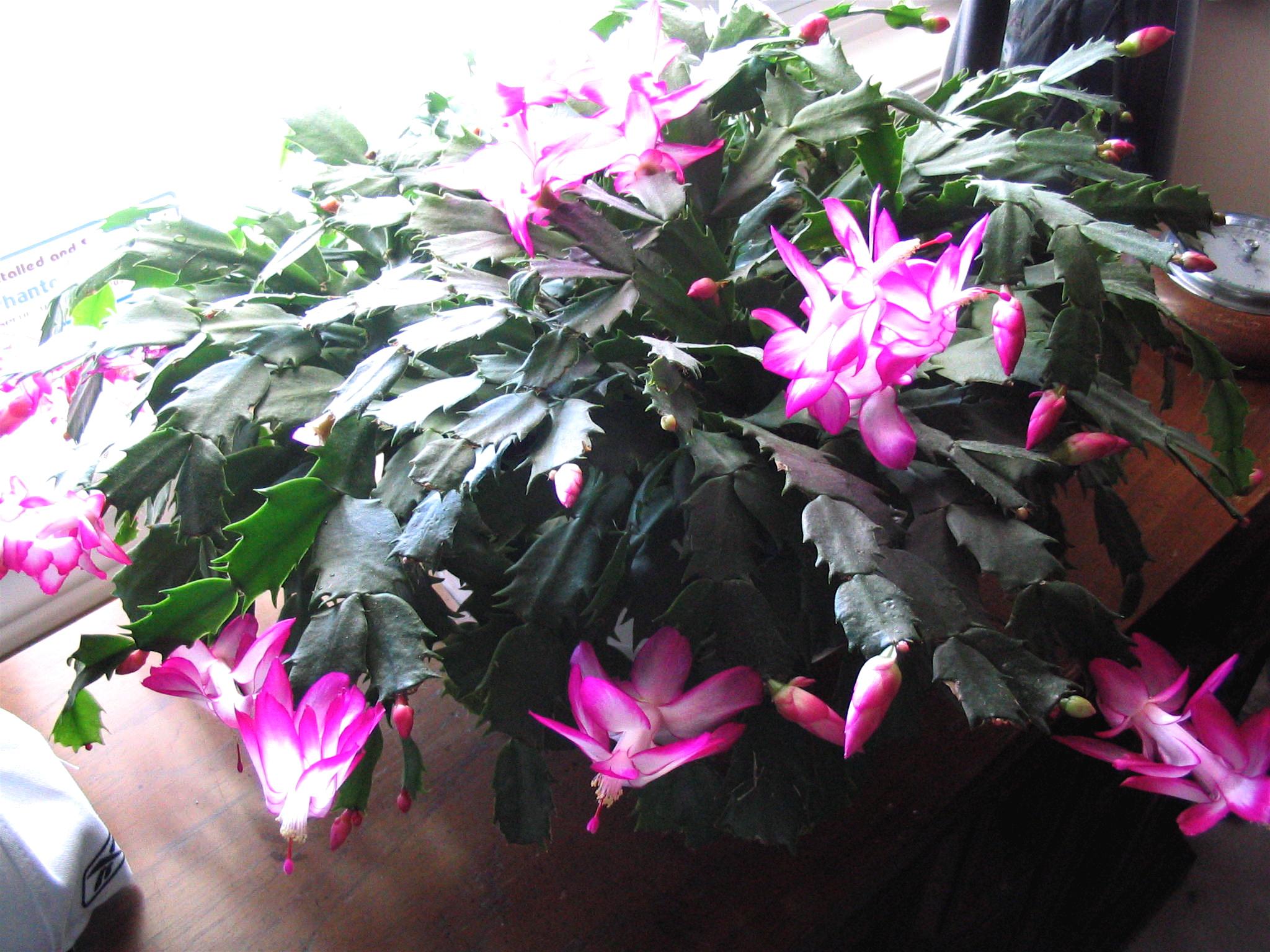 christmas cactus how to care for christmas cacti the old farmers almanac
