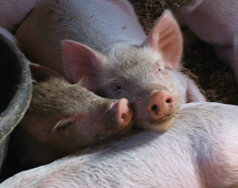 Farming Pig Facts The Old Farmer S Almanac