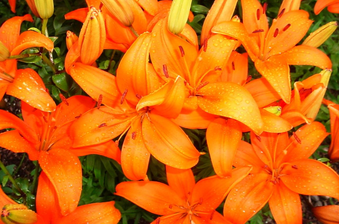 lilies how to plant, grow, and care for lily flowers  the old, Beautiful flower