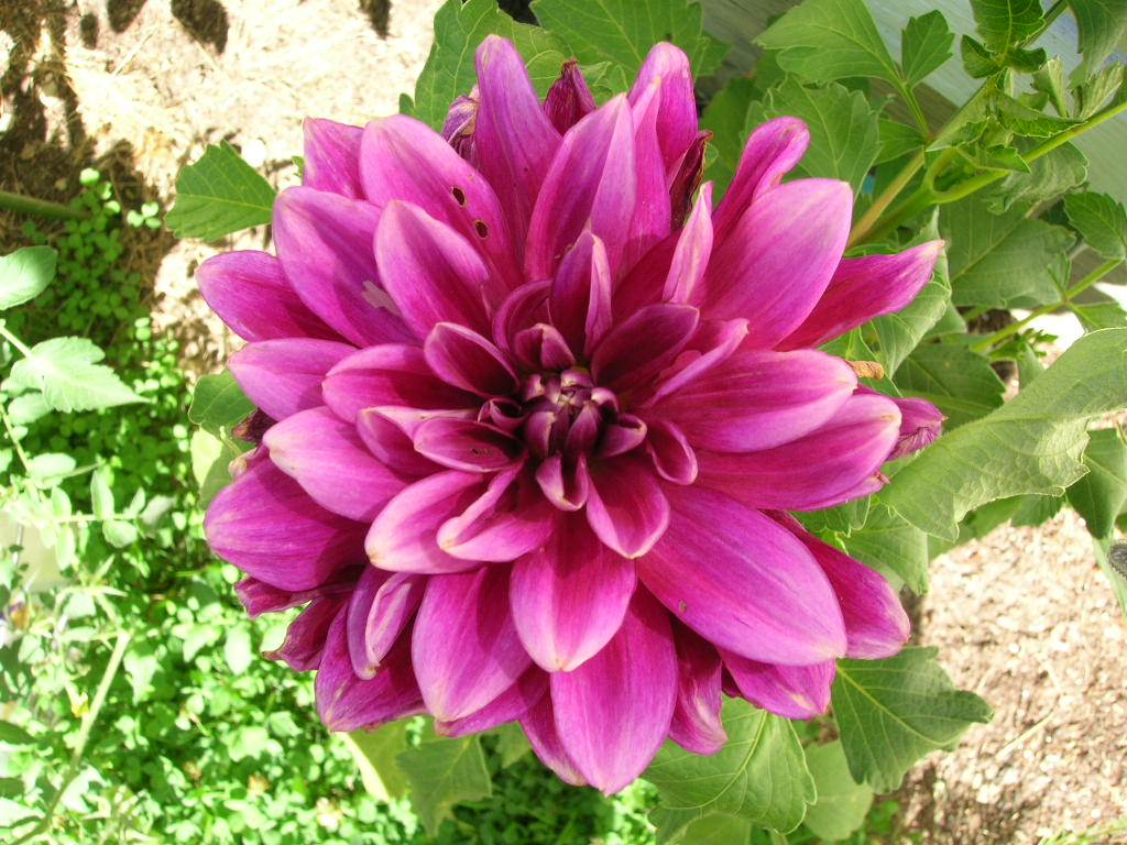 Flowers that bloom in the winter in missouri - Dahlias How To Plant Grow And Care For Dahlia Flowers The Old Farmer S Almanac