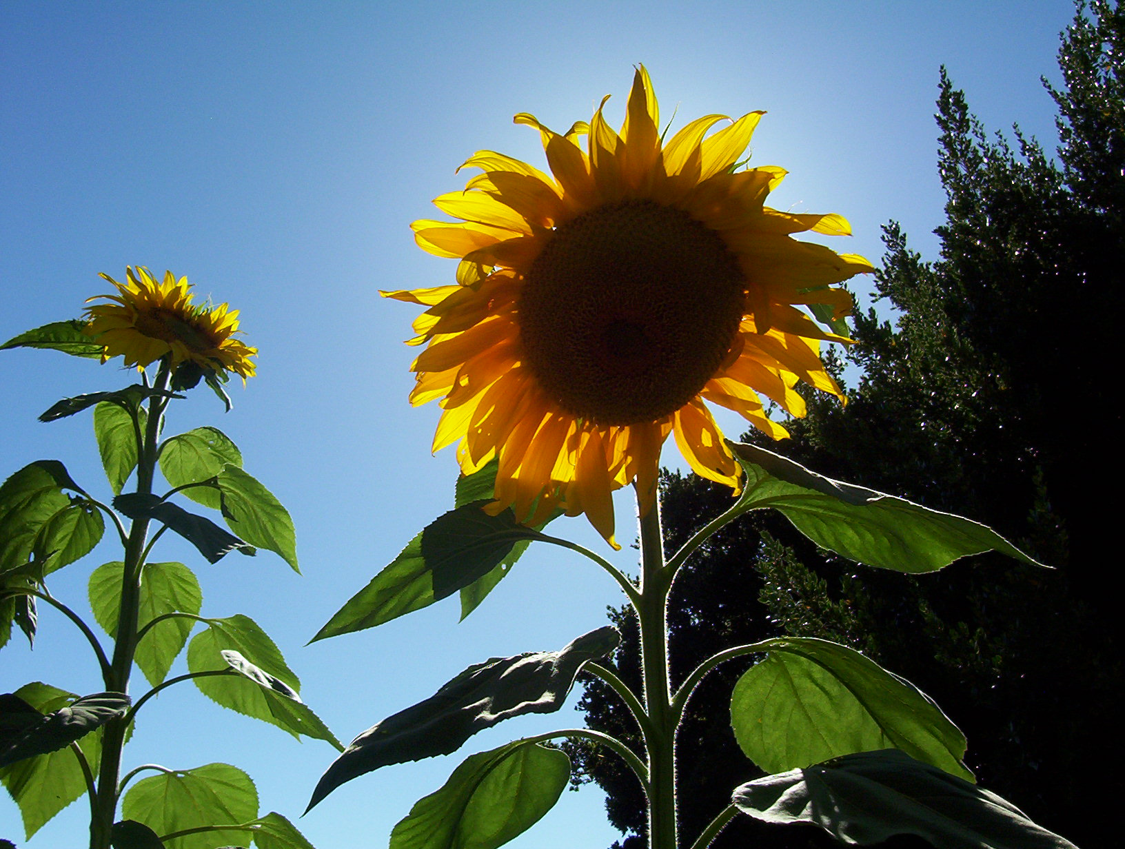 sunflowers how to plant, grow, and care for sunflower plants, Beautiful flower