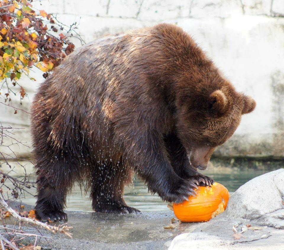Bears and Pumpkin