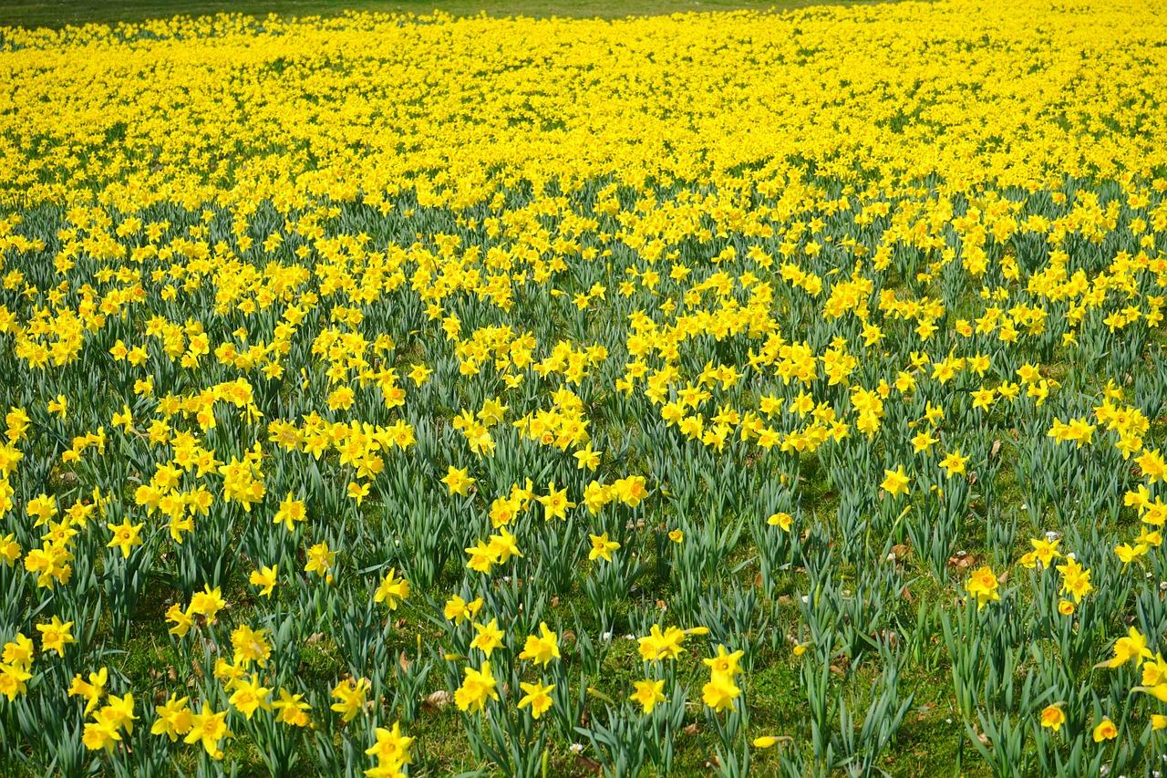 Daffodil Field in Spring