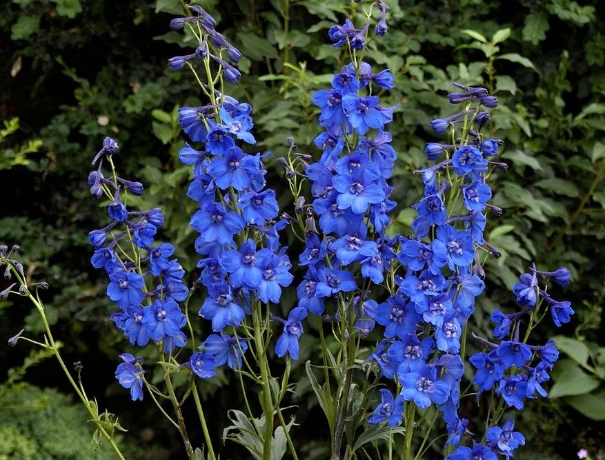 Delphiniums how to plant grow and care for delphinium for Do black roses grow naturally