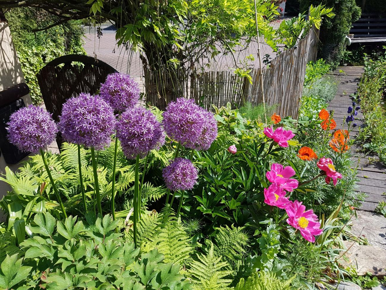 Allium: The Ornamental Onions