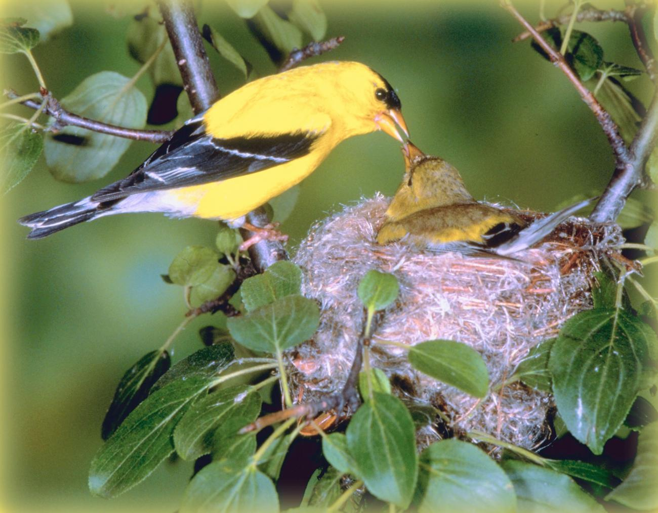 Bird Sounds-American Goldfinch-Thinkstock