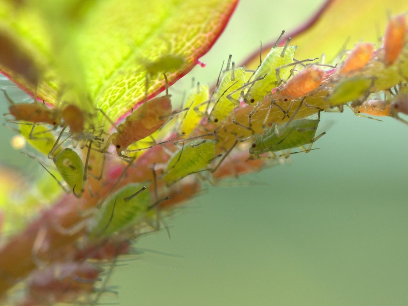 How to get rid of aphids on an indoor plant