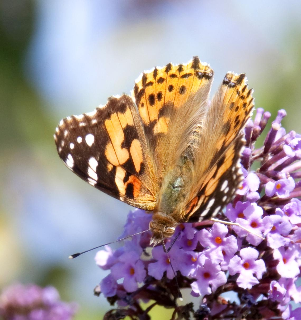 Attract Butterflies-Painted Lady Butterfly-Magnus Manske, Wikimedia Commons