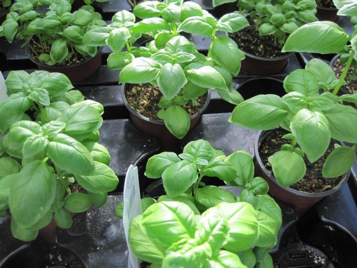 Growing Basil Varieties