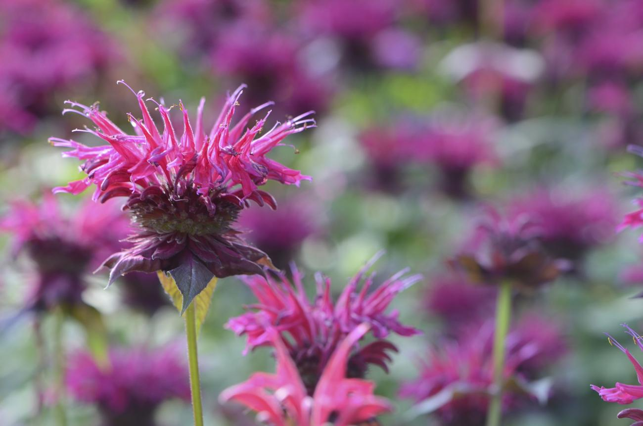 Growing Bee Balm in the Garden
