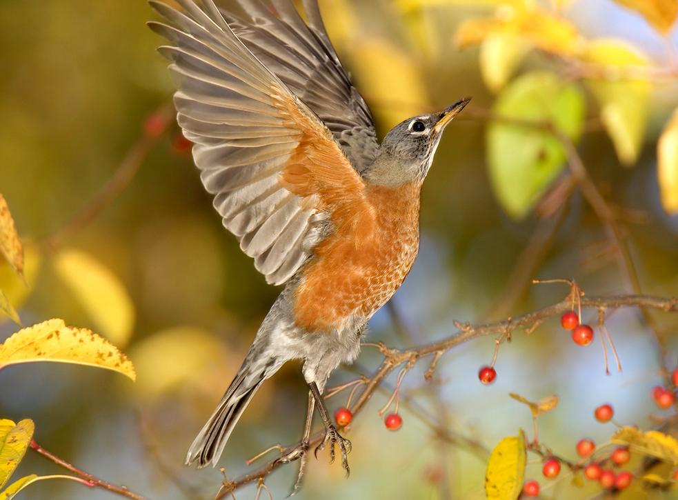Bird Sounds and Songs-American Robin-William H Majoros, Wikimedia Commons