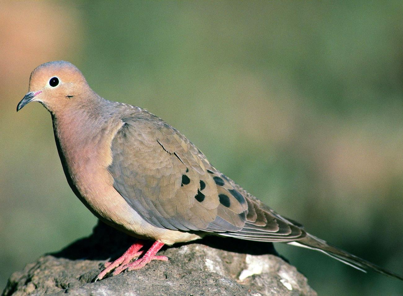 Bird Sounds and Songs-Mourning Dove-US Fish and Wildlife via Wikimedia Commons