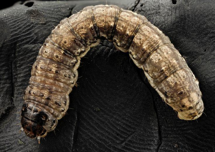 How To Identify And Get Rid Of Cutworms