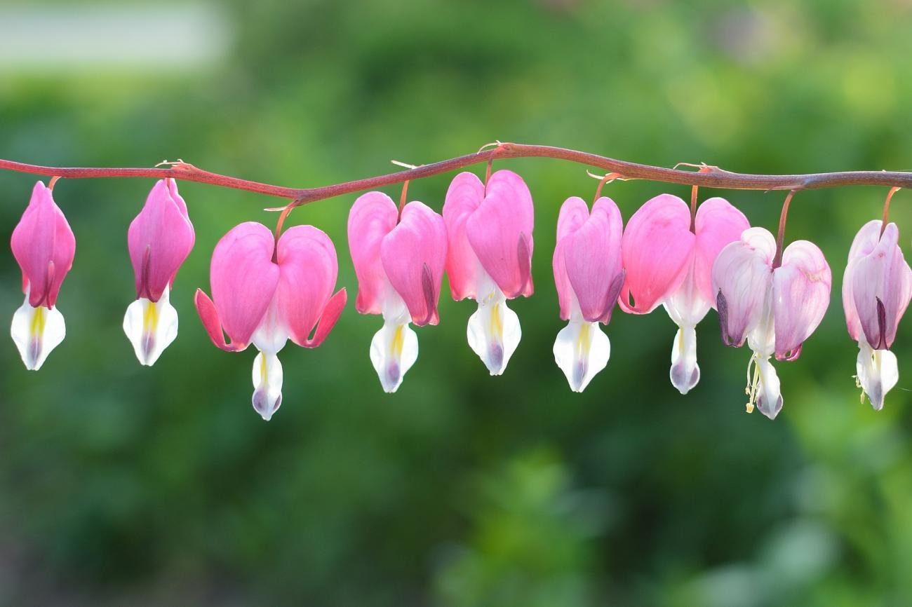 Charmant Bleeding Heart Flowers