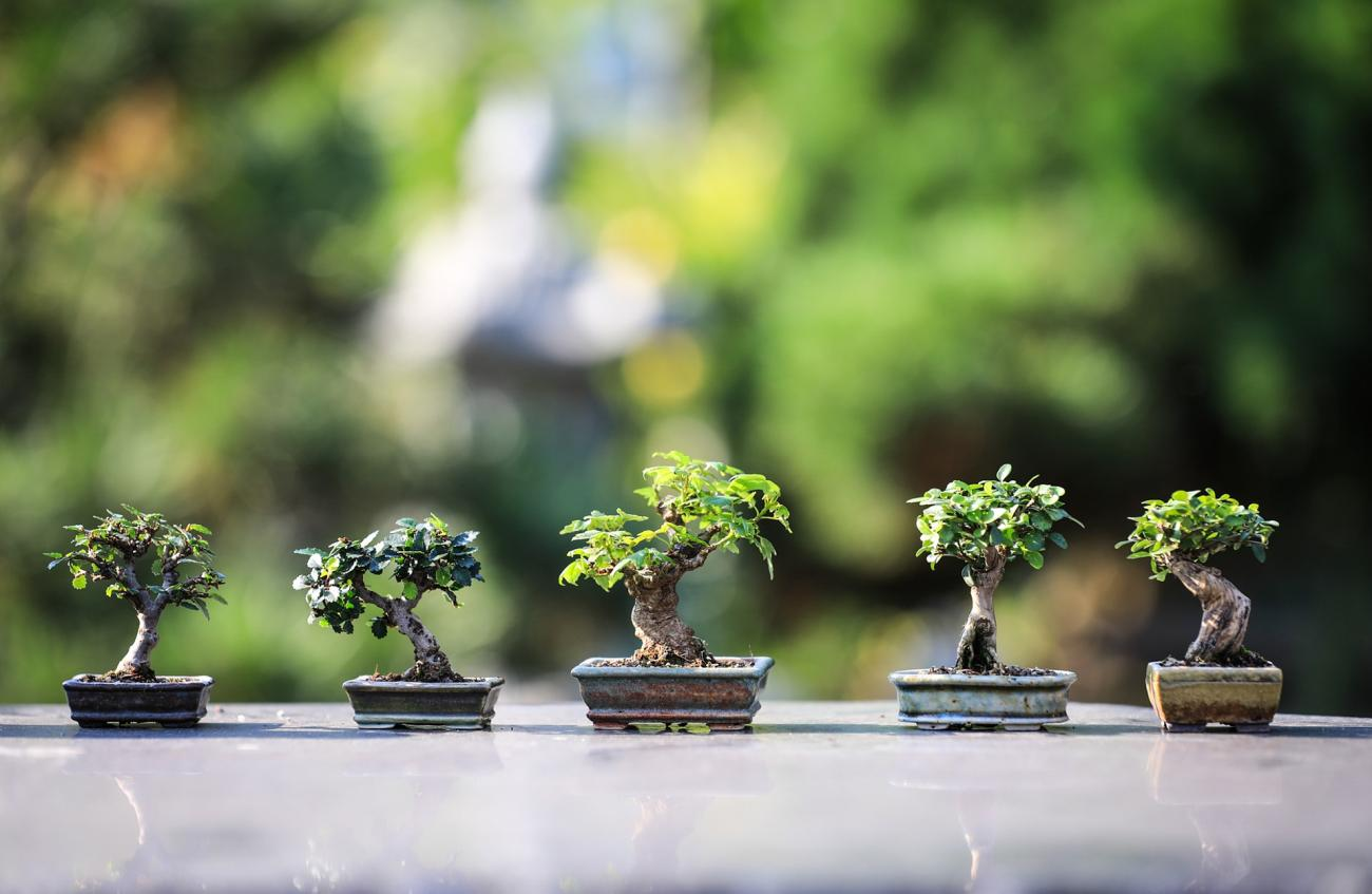growing bonsai  bonsai tree care for beginners