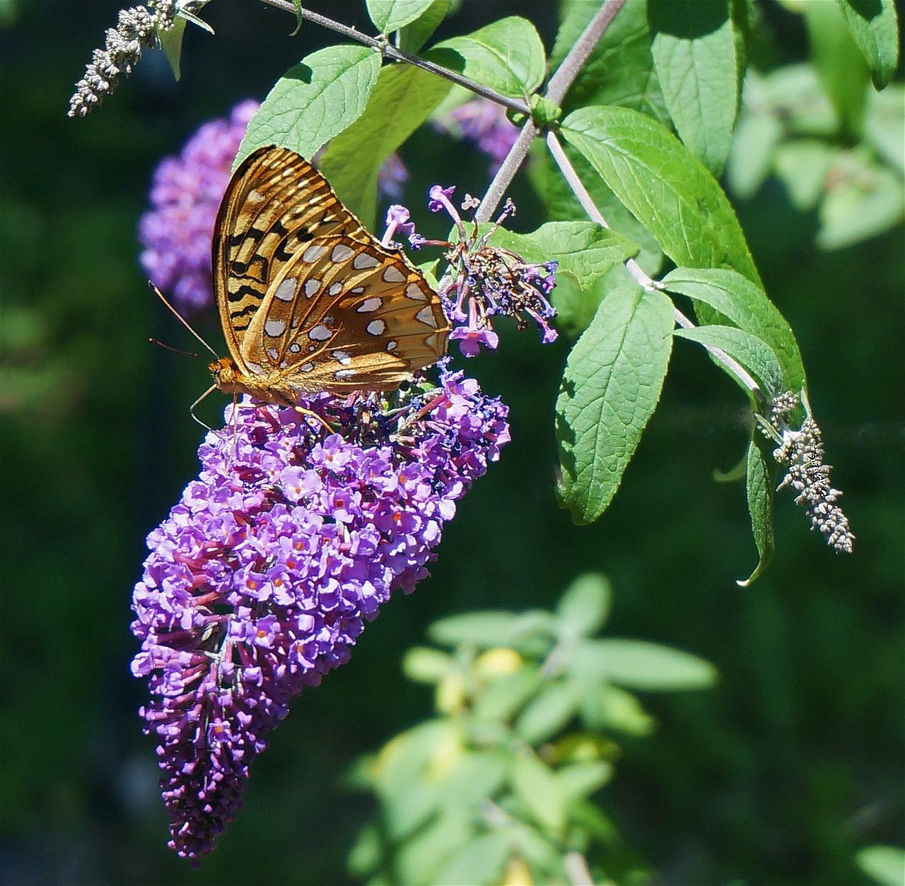 When Does The Butterfly Bush Flower