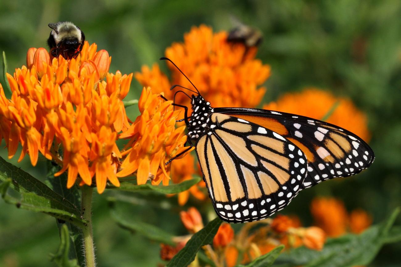 Butterfly and Bee on Butterfly Weed