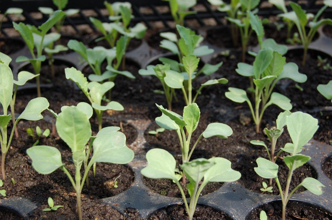 Starting seeds indoors tips and tricks the old farmers almanac cabbage seedlings workwithnaturefo