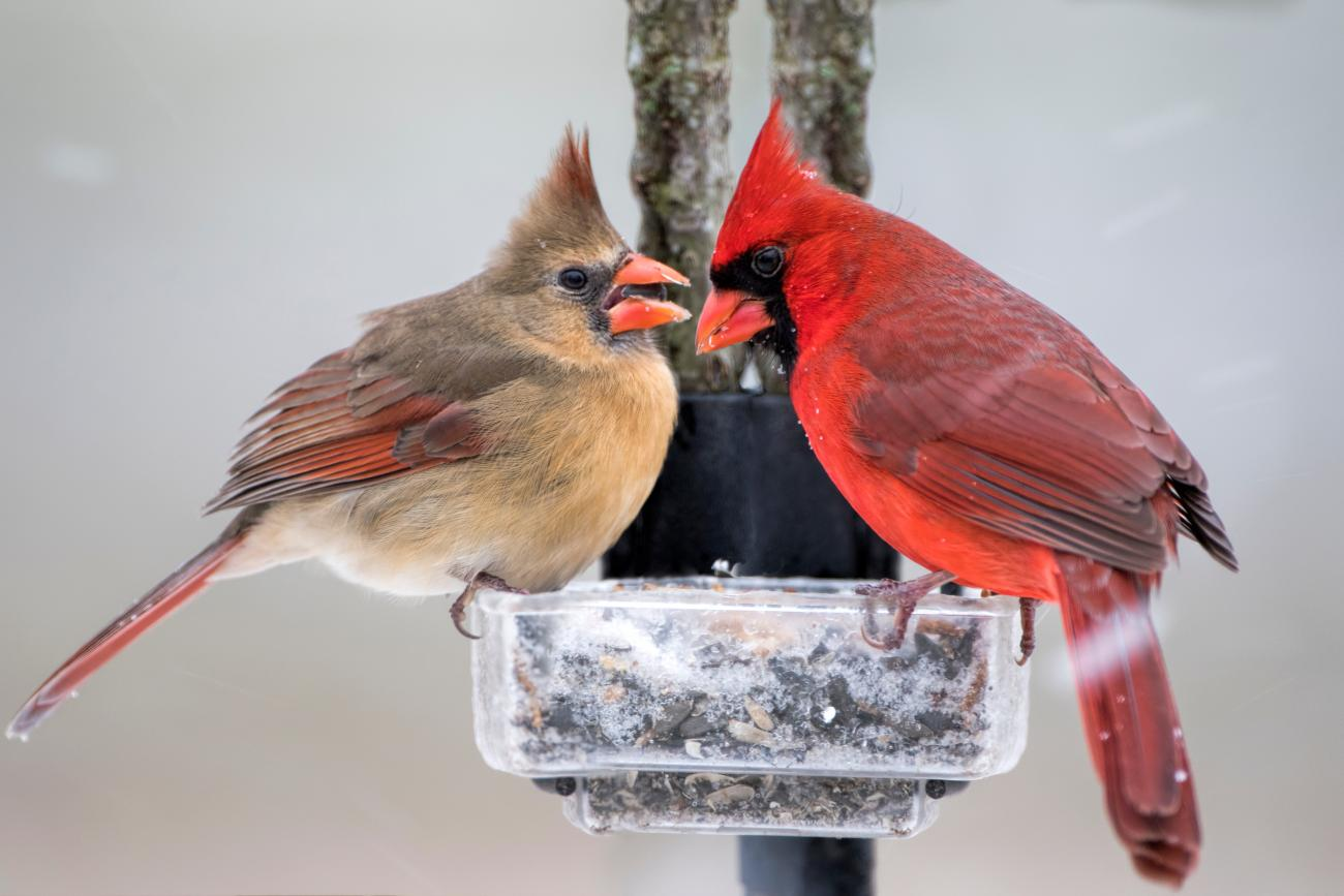 Cardinals in Winter on Bird Feeder