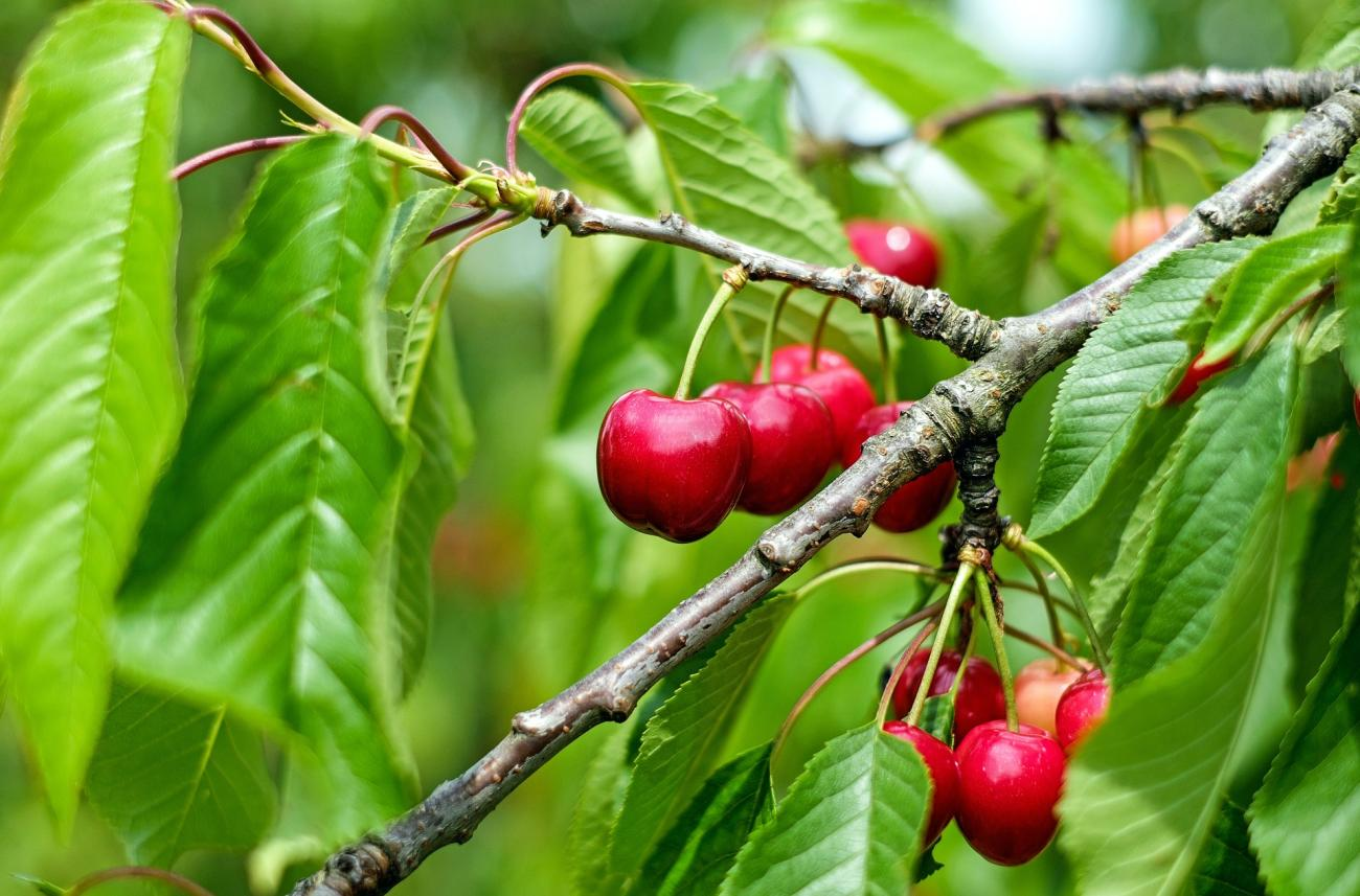 Cherries how to plant grow and harvest cherries the for Best flowers to grow in california
