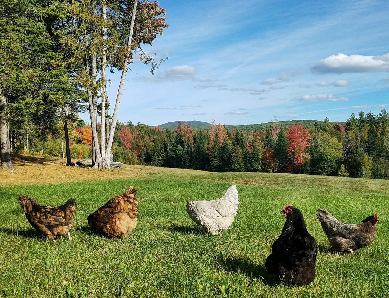 THE BEST CHICKEN BREEDS FOR YOUR BACKYARD