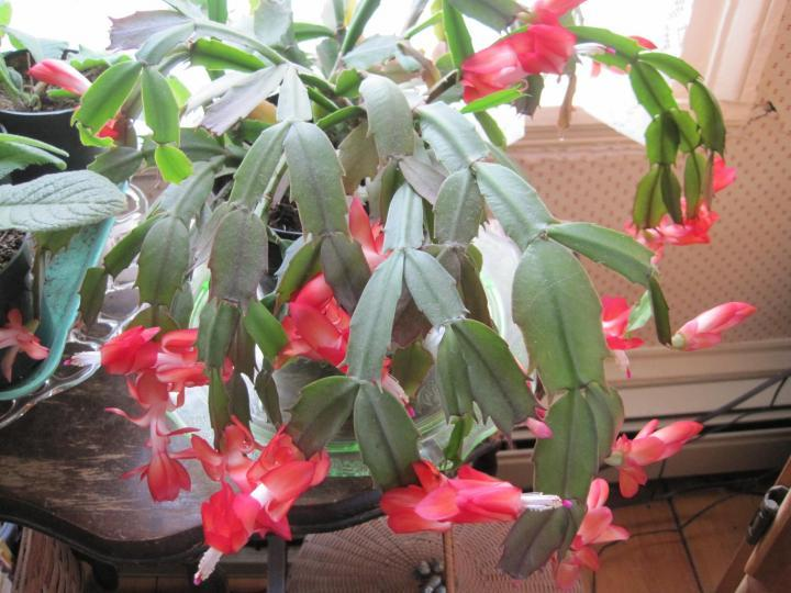 How To Get A Christmas Cactus To Bloom.Christmas Cactus Thanksgiving Cactus And Easter Cactus