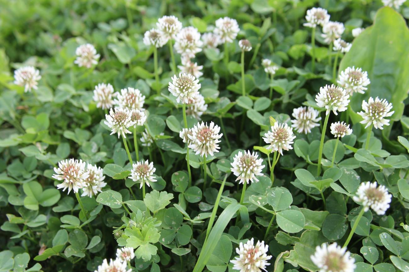 Growing a Clover Lawn | The Old Farmer's Almanac