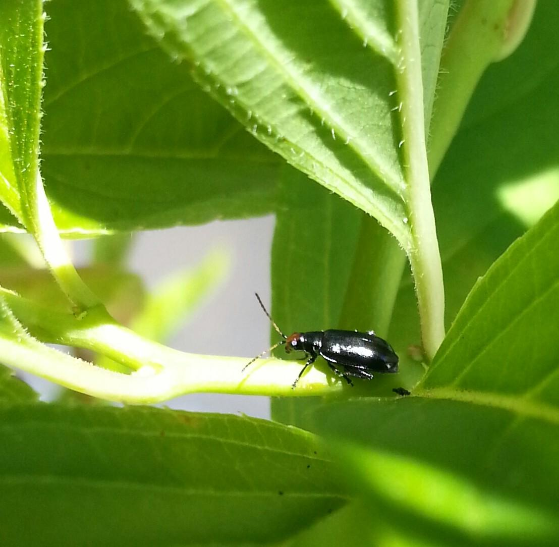control-flea-beetles