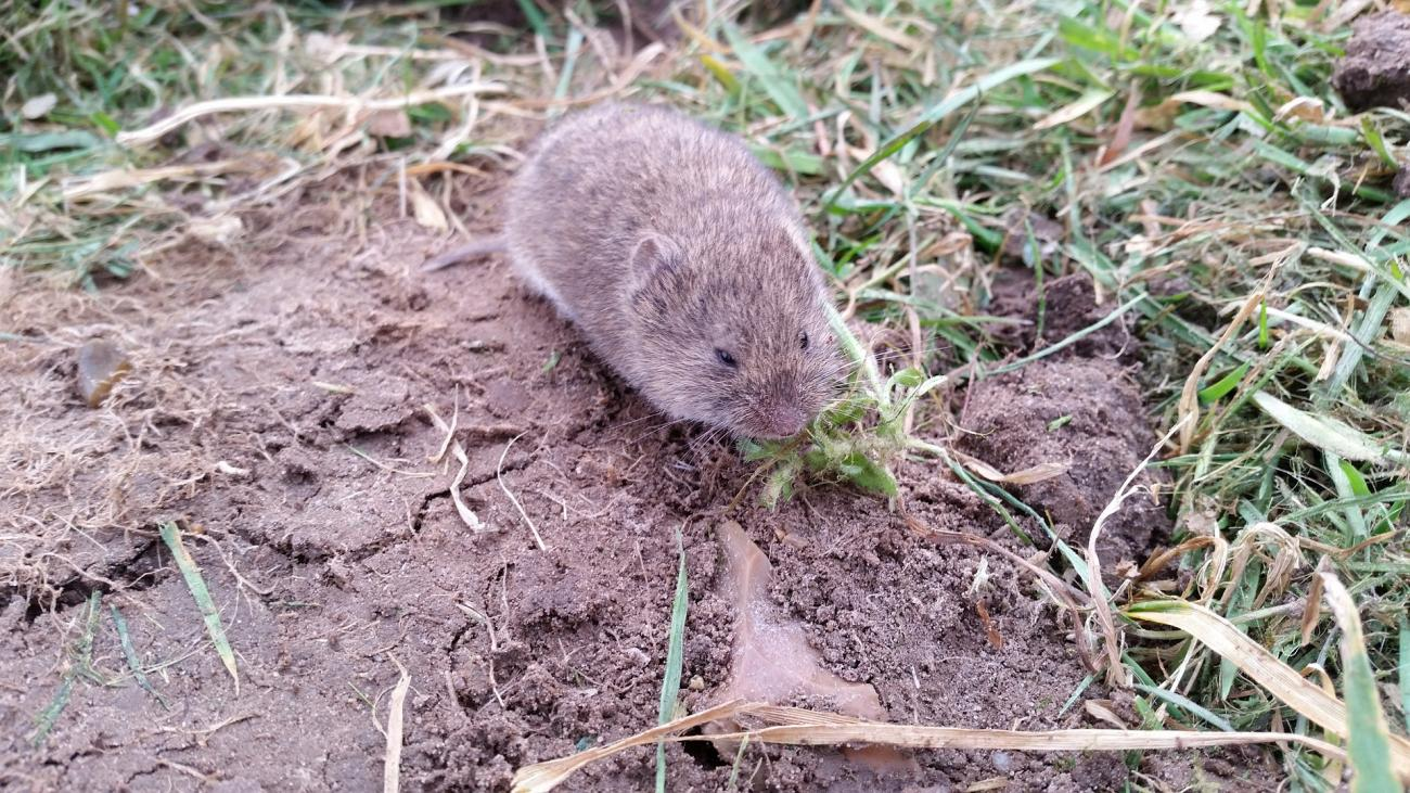 Voles: How to Get Rid of Voles in the Yard or Garden | The