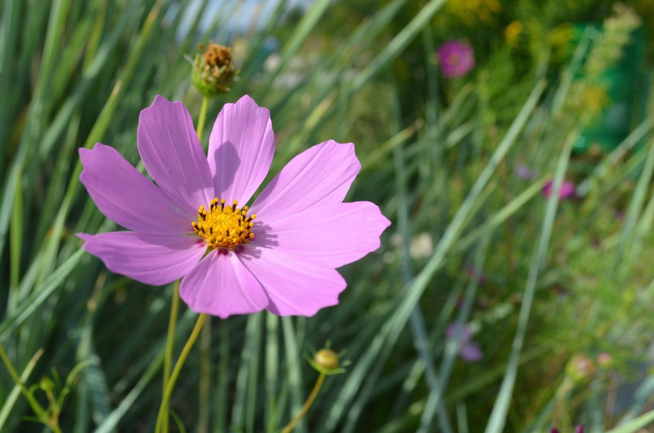 Cosmos How To Plant Grow And Care For Cosmos Flowers The Old