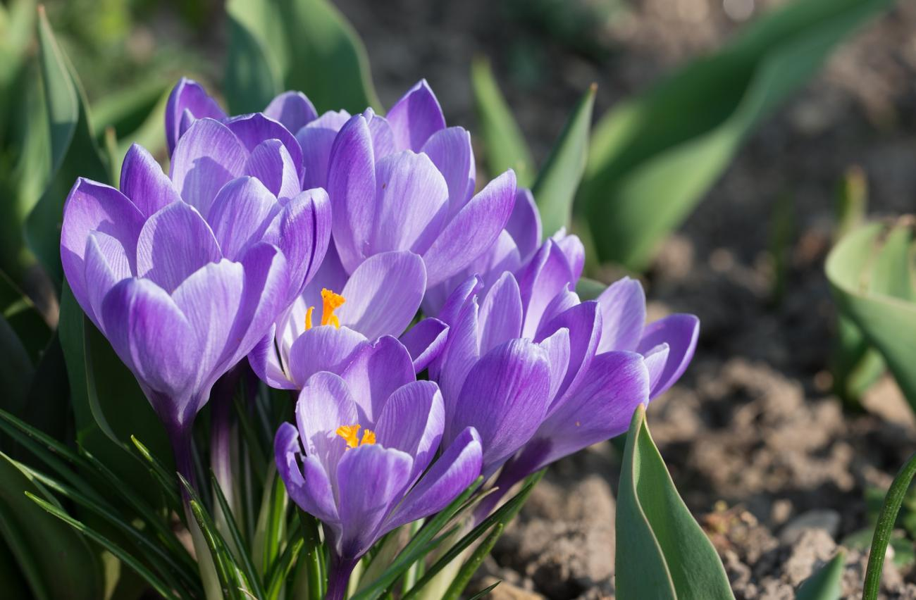 883ddde51 Crocuses  How to Plant