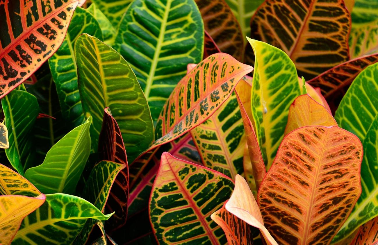 Croton How To Grow And Care For Croton Plants The Old Farmer S
