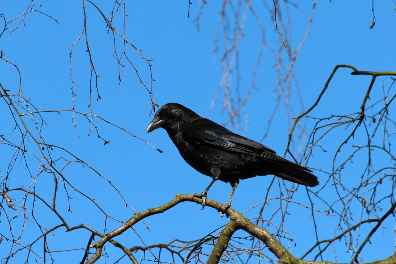 How To Identify And Get Rid Of Crows