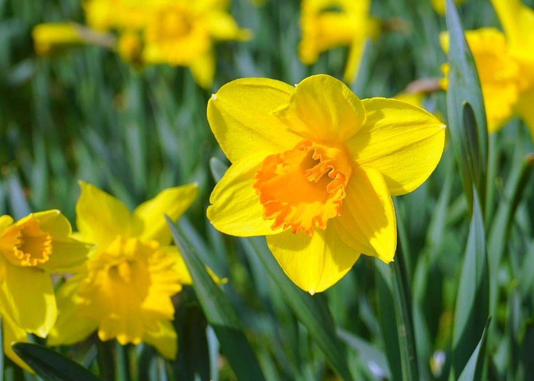 Daffodils how to plant grow and care for daffodil flowers the daffodil yellow mightylinksfo