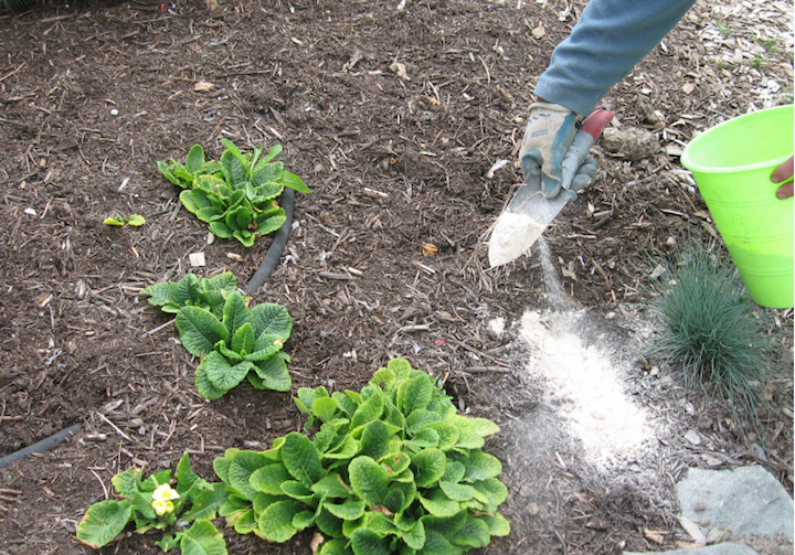 Diatomaceous earth using de in the garden the old - How to use diatomaceous earth in the garden ...