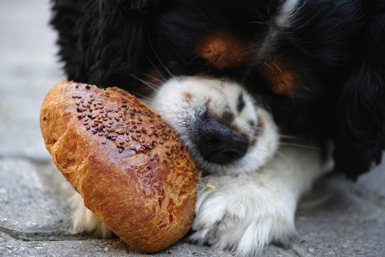 Dog Eating Bread