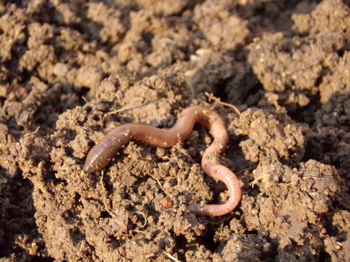 Soil Test Earthworm