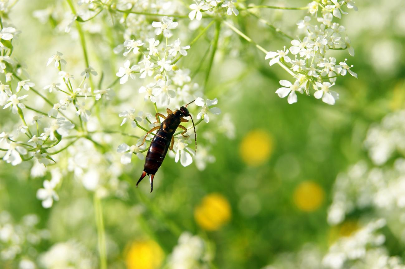 earwig-insect-get-rid-of