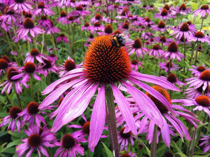 Image result for coneflower