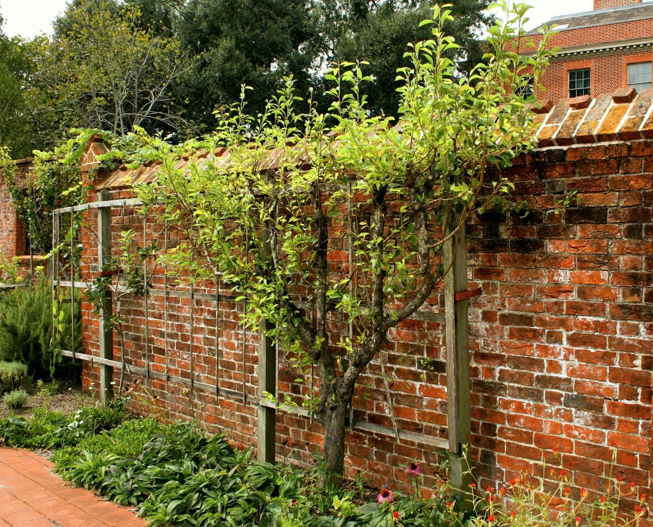 Espalier Trees Plants Espaliering The Old Farmer S Almanac