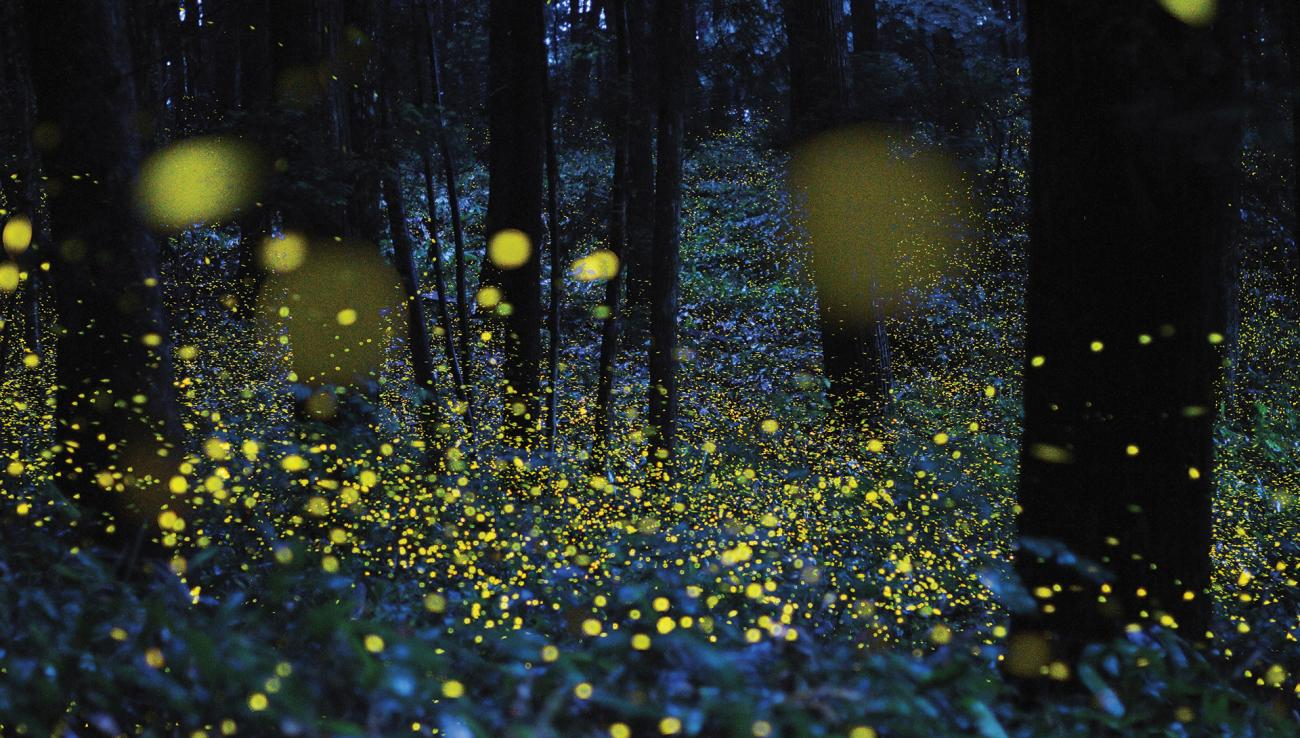 Image result for fireflies photos