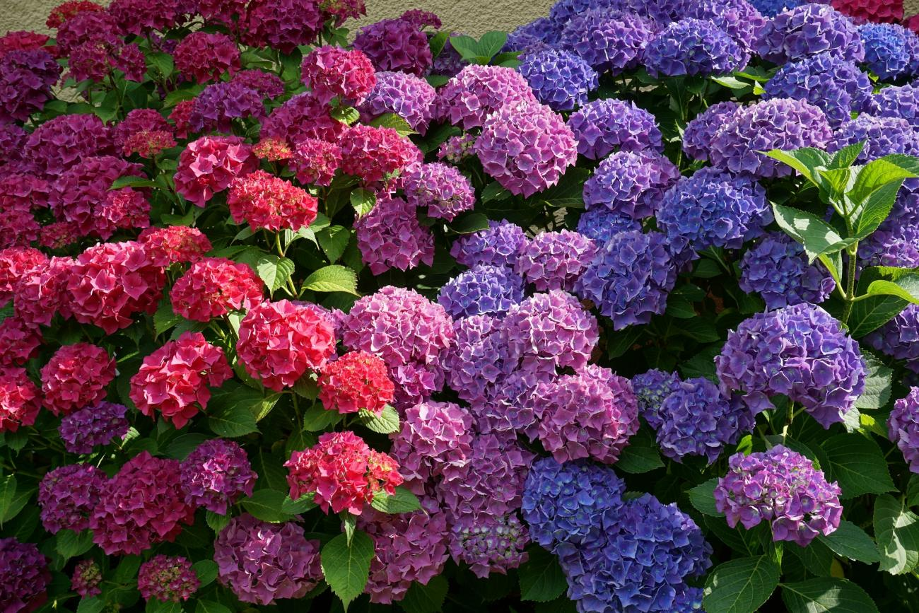 Hydrangeas Blue and Pink